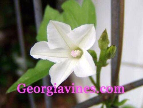 Morning Glory Ipomoea Magnusiana 10 seeds