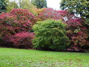 Top trois acers -65 semences chaque orange, rouge et purple.great couleurs d'automne  </span>