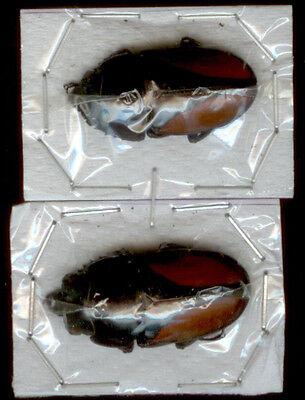 Neolucanus Parryi  pair   M 25mm  H +20mm,  BEETLE,  UNMOUNTED,  SIN MONTAR  A1