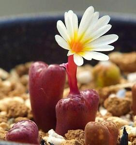rare mesemb exotic succulent seed living stones  100 SEEDS Conophytum ficiforme