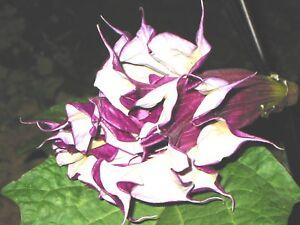 Datura-blackcurrentswirl-15-Samen-Engelstrompete-fach-gefuellt-fuer-Balkon