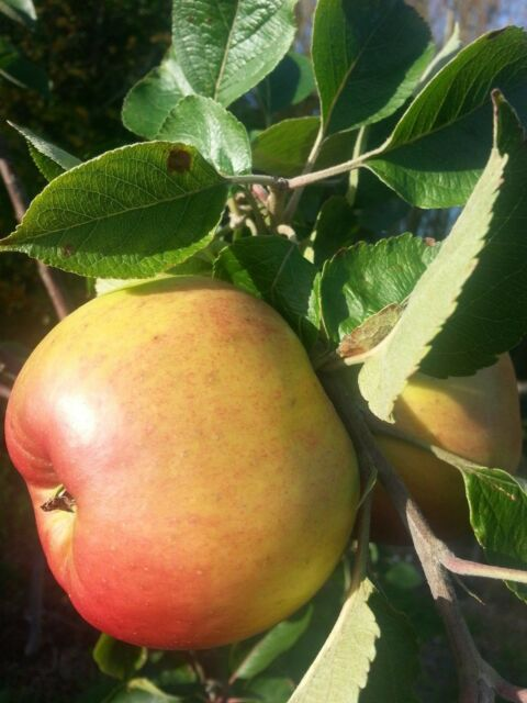 Bramley's Seedling Apple Tree 4-5ft 5L Pot Ready to Fruit, Most Popular Cooker