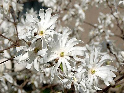 60-80cm 3L Pot Magnolia Stellata Royal Star Fragrant Small Tree