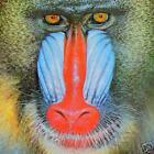 baboonsmusicshop