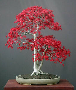 Japanese-Red-Maple-Acer-palmatum-atropurpureum-50-Seeds-Bonsai-or-Feature