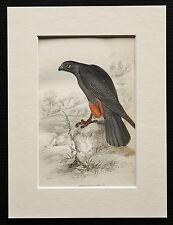 Orange Legged Hobby Falcon - Mounted Antique Bird Family Print 1840s by Jardine