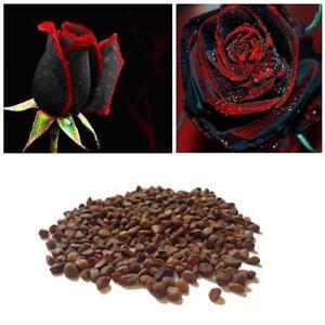 200-wahres-Blut-seltene-Schwarze-Rosen-Samen-seltene-erstaunlich-schoene