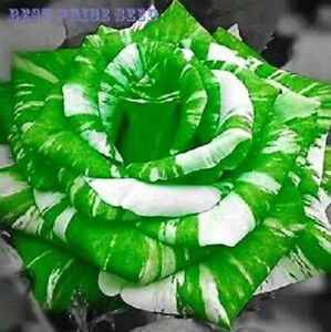 20 Green And White Dragon Rose Seeds Usa Seller Ships