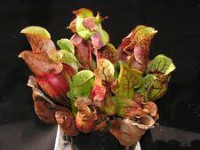 10 Semi Sarracenia purpurea ssp. venosa pianta carnivora