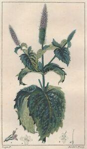 Decoration-Botanique-Menthe-crispee-gravure-Pierre-Jean-Francois-Turpin