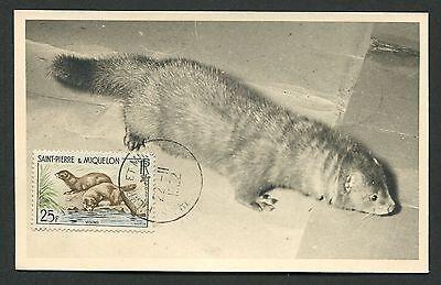 Vervoering St. Pierre Mk 1962 Fauna Nerz Visons Maximumkarte Carte Maximum Card Mc Cm D4840