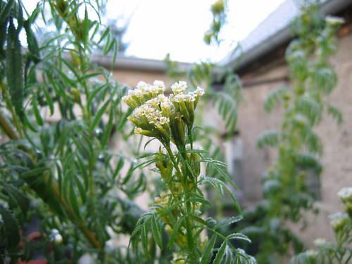 Blüte Blätter essbar Salat TAGETES bis 2 m hoch RIESENTAGETES Studentenblume