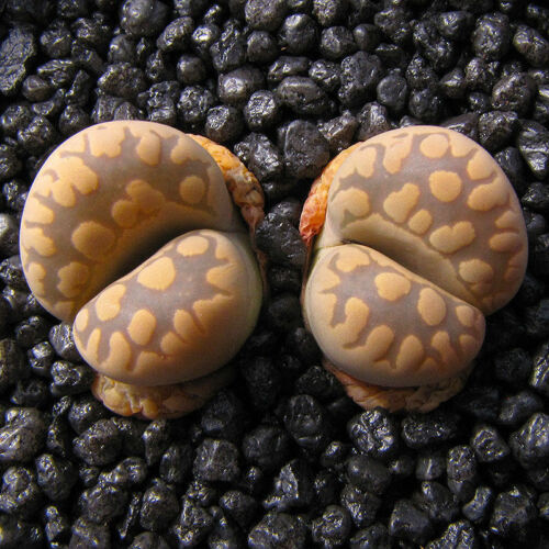 Lithops Otzeniana SH531 Very Rare Succulent Samen Semi Korn  種子 Семена 5 SEEDS