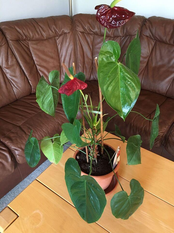 Plante til stuen, Flamingo