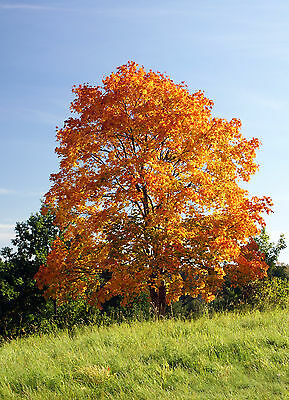 ARCE  REAL  ( Acer Platanoides) 100 semillas / seeds