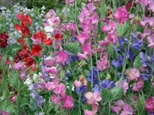 SWEET PEA, 100+ SEEDS ORGANIC NEWLY HARVESTED, GREAT CUT FLOWER