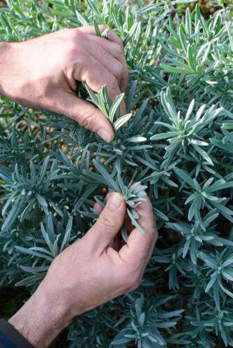 exotisch Garten Pflanze Samen winterhart Sämereien Exot Kräuter CURRYSTRAUCH