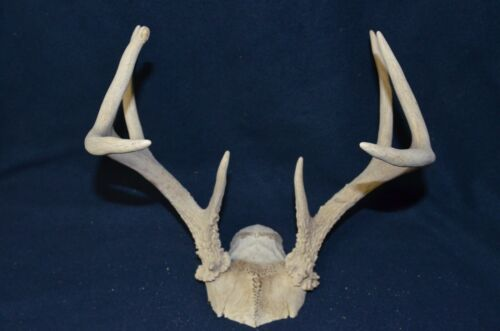 Details about  /HEAVY MATCHED 4x4 SET Whitetail Deer Shed Antlers Horn Elk Mule Euro Mount