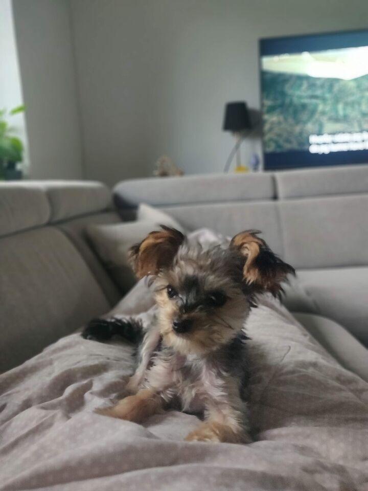 Mini yorkshire, hvalpe, 2 uger