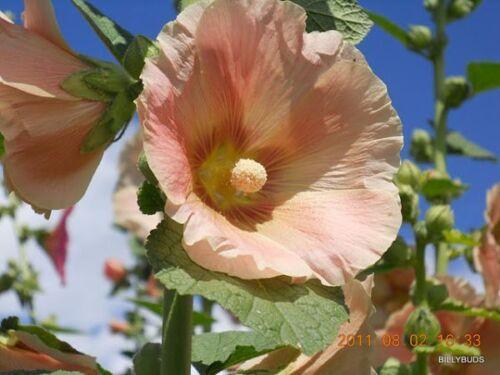 50 Hollyhock Seeds:10 REDDISH ORANGE//YELLOW,10 CORAL,10 BLACK,10 ROSE PINK,10WHI