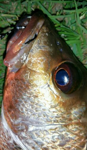 3//0 STAINLESS Steel  live bait fishing hooks 50 pack!