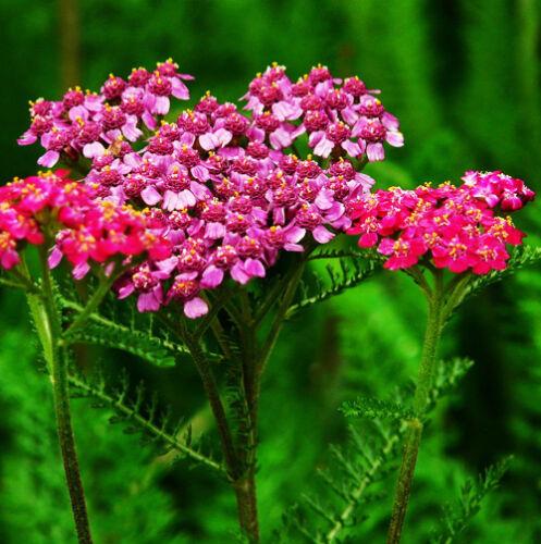 50 Pink Toothed Leaf Yarrow Seeds Chiba Achillea Millefolium Garden Flowers