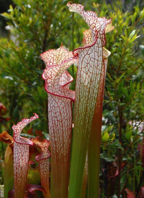 PITCHER PLANT CRIMSON WHITE * Sarracenia leucophylla * CARNIVOROUS * BOG * SEEDS