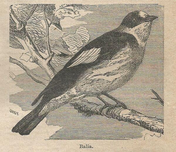 100% Vero A1037 Balia - Stampa Antica Del 1911 - Xilografia Vari Stili