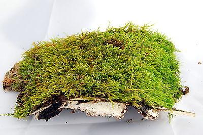 Live moss on bark 15 x 10 cm for terrarium