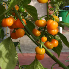 Brasile kleiner oranger Apfelpaprika süßer Paprika Minipaprika Naschpaprika