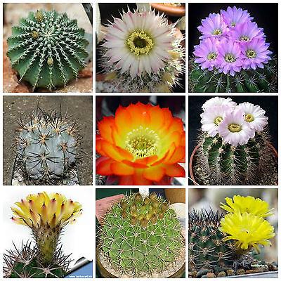 piante grasse,seed cactus mix 100 semi in miscuglio di Thelocactus mix