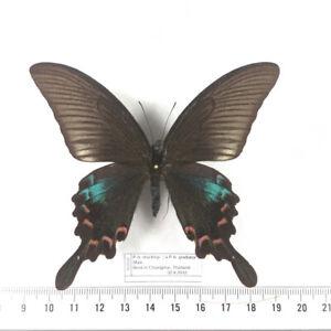 HYBRID Papilio b. gladiator X P. b. stockleyi MALE - Unmounted