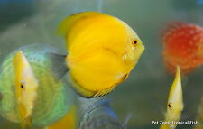 Lemon Yellow Discus (Golden Lemon), Medium-Sized, Live Freshwater Tropical Fish