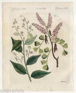 Arzneipflanzen-Benzoebaum-Blauholz-Pflanzen-Blumen-Bertuch-Kupferstich-1810
