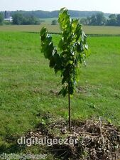 12 Fresh Paw Paw Fruit Tree Seeds *  Pawpaw The Indiana Banana * New Crop Seeds
