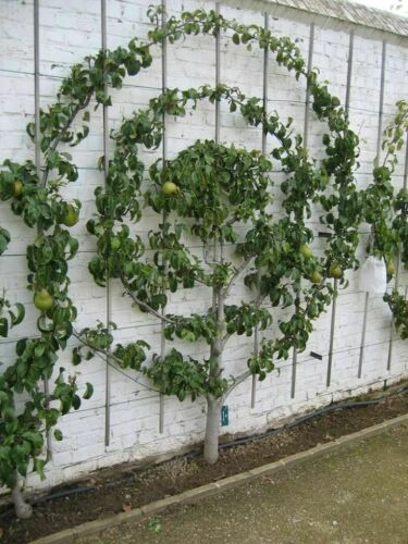 6+4 Warren pear tree cuttings scions rooting grafting Great producer delicious
