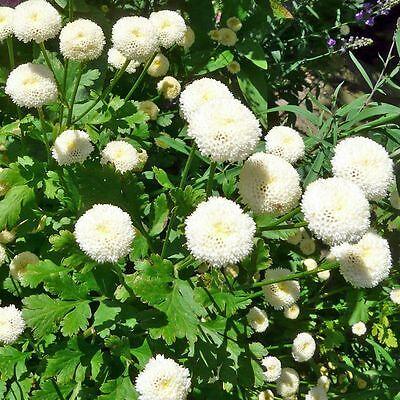 MATRICARIA Snowball 200 seeds hardy fragrant white garden cut flower