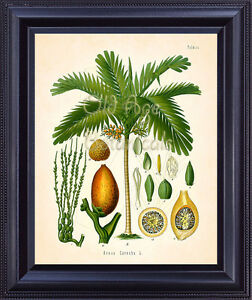 Kohler Botanical Art Print Tropical Areca Nut Palm Tree