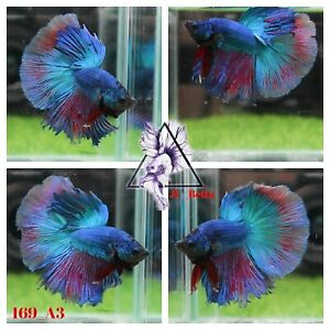[169_A3]Live Betta Fish High Quality Male Fancy Over Halfmoon 📸Video Included📸