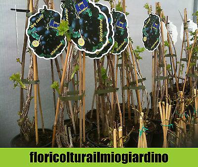 Piante di Jostaberry - Incrocio Ribes Nero e Uva Spina
