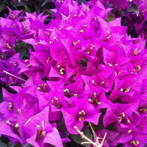 Seeds Flower Bougainvillea Dwarf BLUE /'Imperial Delight/' uk home 100pcs GLORY
