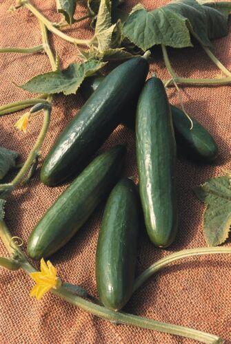 LA Diva Pictorial Packet Vegetable Kings Seeds Cucumber