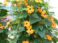 100 SEEDS B57 Black Eyed Susan Vine Seeds Thunbergia Alata Flower