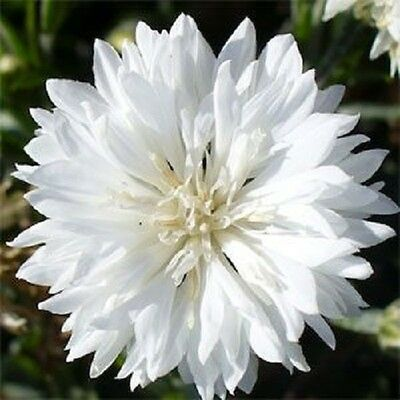 35+ PURE WHITE BACHELOR'S BUTTON CORNFLOWER FLOWER SEED