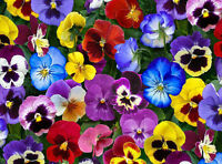 Love Pansies 100% Cotton Quilting Fabric Black Lovely Pansy Flower Yardage