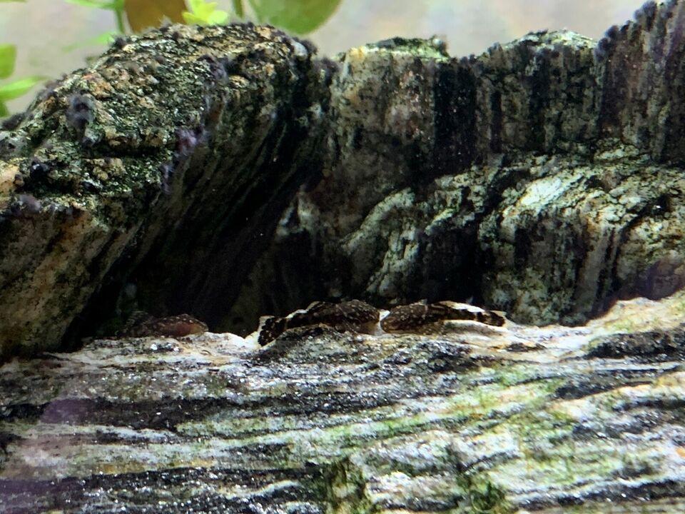 Ancistrus malle unger 1,5-2cm