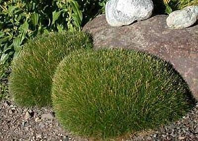 Ornamental Grass Seed Deschampsia Caespitosa Seeds