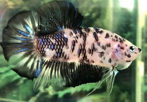 "betta fish giant marble darmatian Dot Dot high quality size 2""BO"
