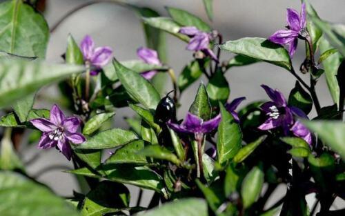 Very Rare Heirloom Purple Passion Pepper Seeds-J 074 25