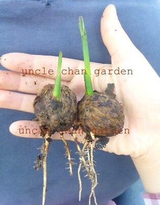 semis betel nut palm ARECA catéchine Prêt Plante avec Racine viable * oncle CHAN